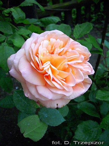 Rose Charles Austin