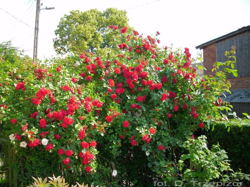 Rose Flammentanz