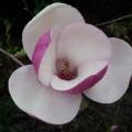 Tulpenmagnolie Lennei