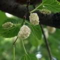 Weiße Maulbeere