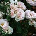 Rose Aspirin Rose