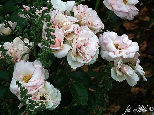 rose rosa 39 aspirin rose 39 pflanzen enzyklop die. Black Bedroom Furniture Sets. Home Design Ideas