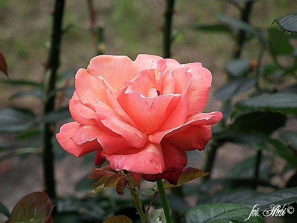 Rose Belle Epoque