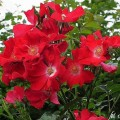 Rose Dortmund