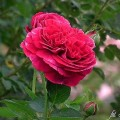 Rose Falstaff