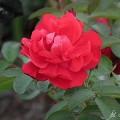 Rose Gefylt