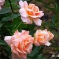 Rose Geisha