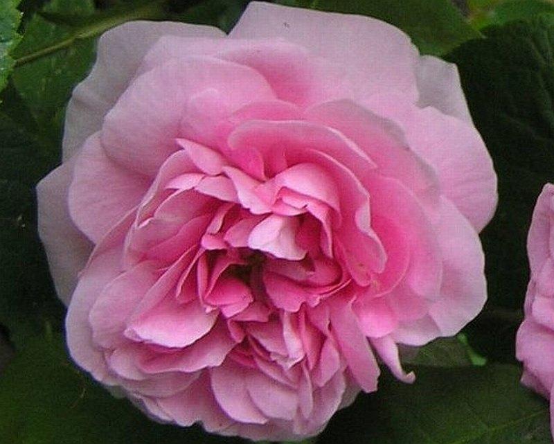 Rose Gertrude Jekyll