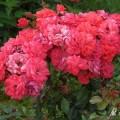 Rose Kormuse