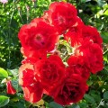 Rose Lagerfeuer