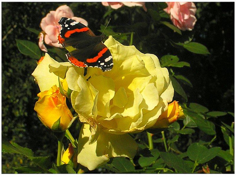 Rose Lichtkõnigin Lucia