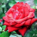Rose Madame Delbard