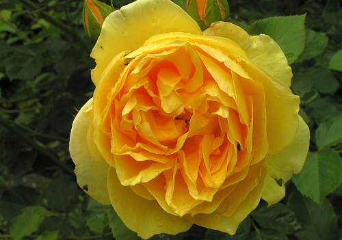 rose rosa graham thomas pflanzen enzyklop die. Black Bedroom Furniture Sets. Home Design Ideas