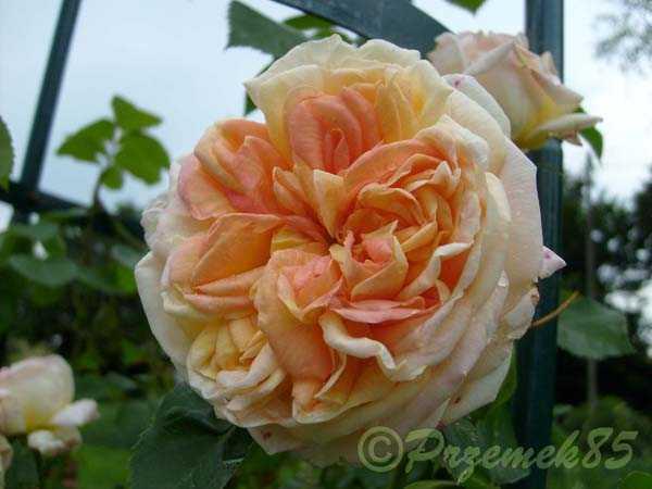 Rose Alchymist