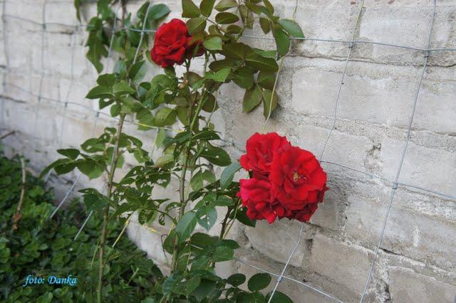Rose Amadeus