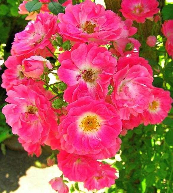 Rose American Pilar