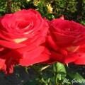 Rose Bicolette