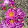 Rose Bluenette
