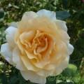 Rose Casanova
