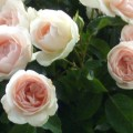 Rose Clair Renaissance