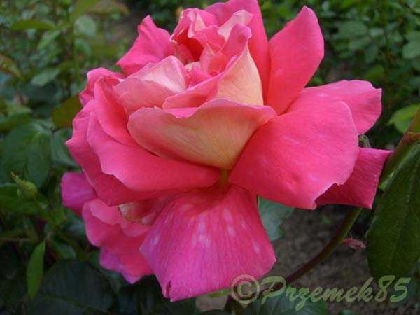 Rose Coronado