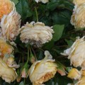 Rose Crown Princess Margaretta
