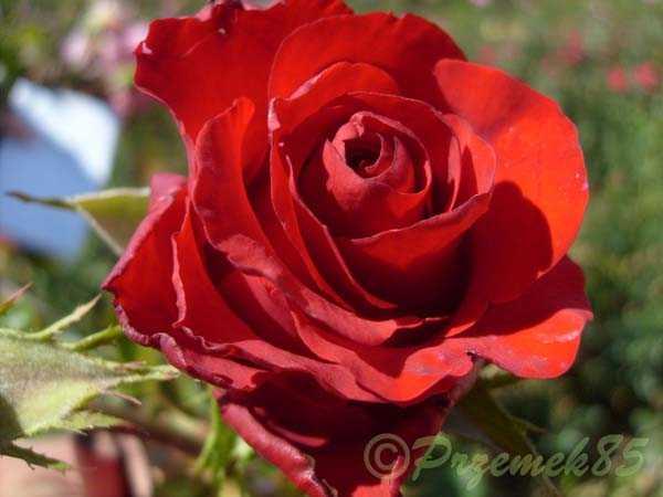Rose Dallas