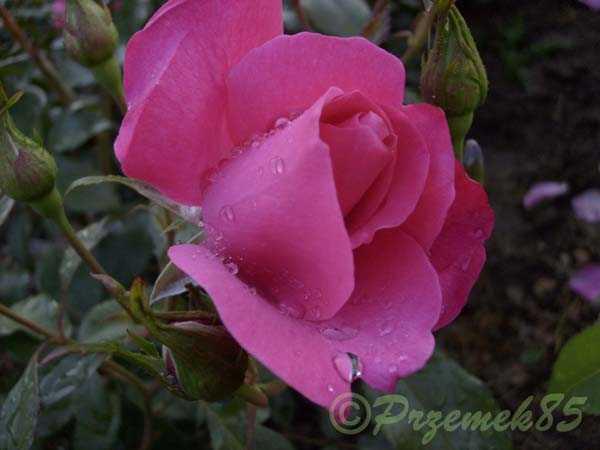 Rose Dolly