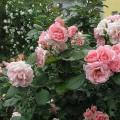 Rose Astrid Lindgren