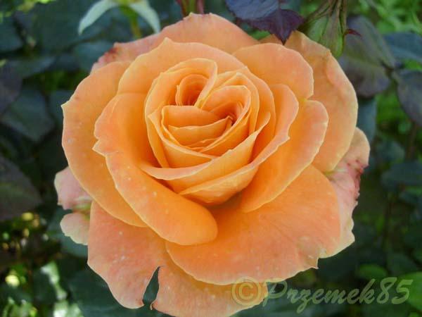 Rose Flora Danica