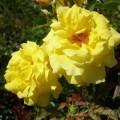Rose Goldstern