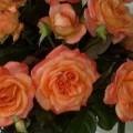 Rose Grenadine