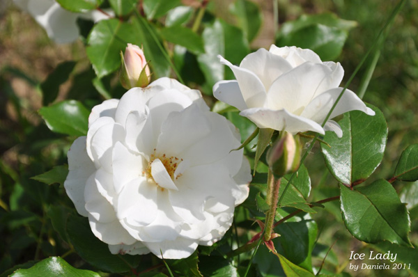 Rose Ice Lady