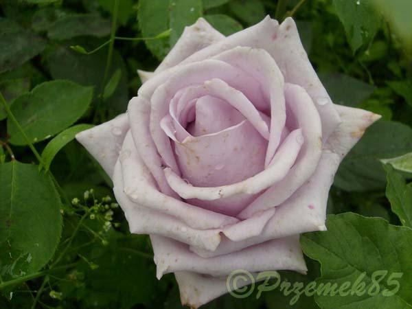 Rose Indigoletta