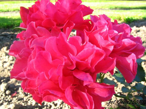 Rose Jarocin