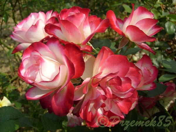Rose Jubilee Celebration