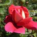 Rose Kronenbourg