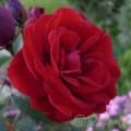 Rose Lavaglut