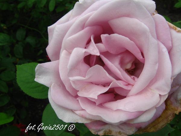 Rose Mainzer-Fastnacht