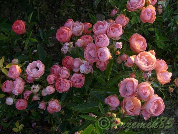 Rose Margo Koster