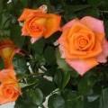 Rose Monica