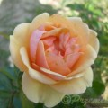 Rose Olympic Palace®