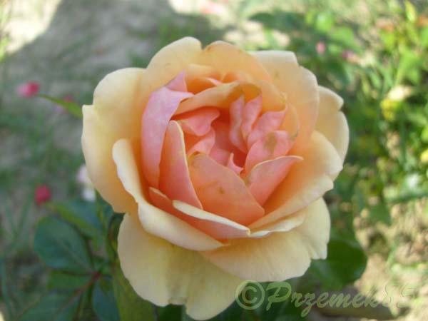 Rose Olympic Palace®