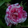Rose Papageno