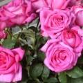 Rose Parole