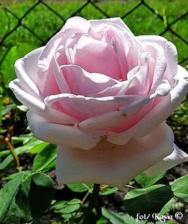 Rose Paul's Early Blush
