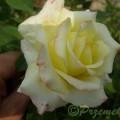 Rose Peer Gynt