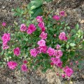Rose Perla de Alcanada