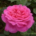 Rose Pink Peace