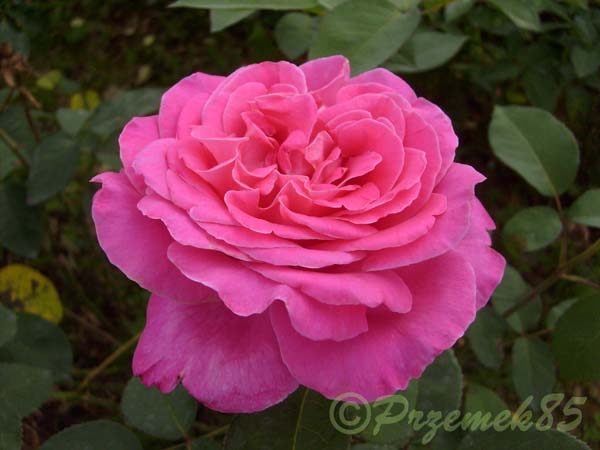 Rose Pink Peace